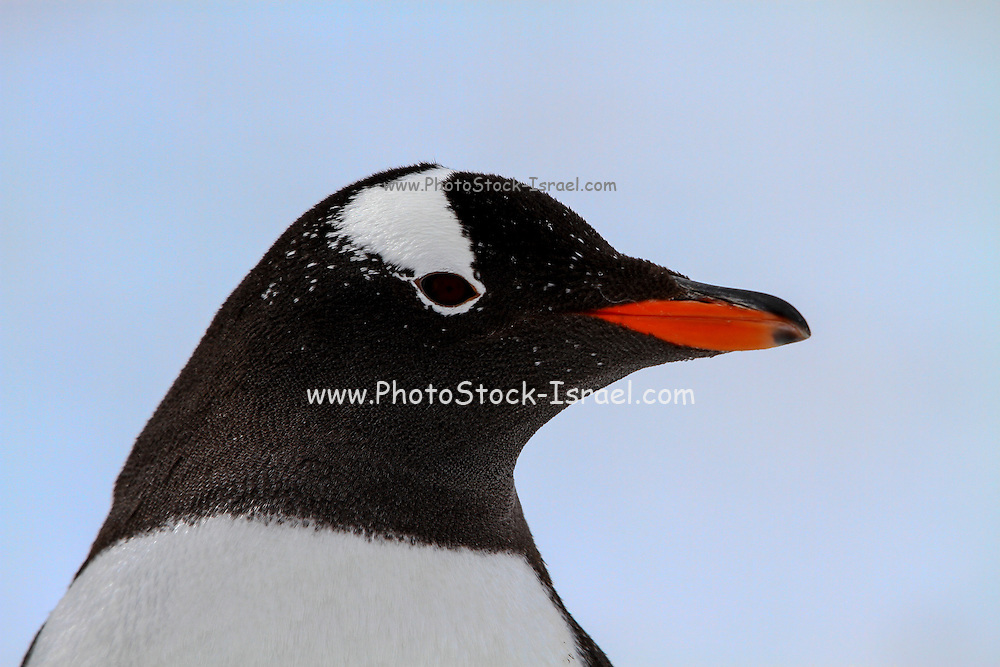 closeup headshot of a Gentoo penguin (Pygoscelis papua). Gentoo penguins grow to lengths of 70 centimetres and live in large colonies on Antarctic islands. They feed on plankton, fish and cephalopods (such as squid), and have an elongated beak that allows them to take larger prey than any other penguin. Photographed at Neko Harbour, Antarctica