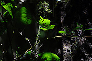 Green Leaves photographed in India, Sikkim