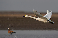 Bewick's or Tundra swan (Cygnus columbianus) and a Ruddy shelduck (Tadorna ferruginea), wintering at the Poyang Ho Lake, Jiangxi province, China