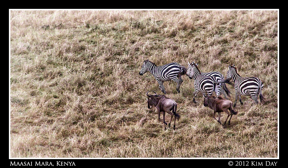 Wildebeest And Zebra On The Run.Maasai Mara, Kenya.September 2012