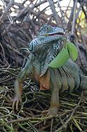 Iguana eating leaves at Laguna Ventanilla near Mazunte, Mexico