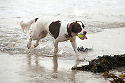 Blown away! Family's delight as Benny the spaniel leaps to fame after windy beach stroll is pictured around the world<br /> <br /> Meet possibly the most talked about dog on the planet right now: Benny the spaniel, whose bracing walk on the beach made us all smile.<br /> He became top dog on the world wide web yesterday after a hilarious picture of him with his ears flapping in the howling wind – and seemingly walking on his hind legs – appeared on the front page of the Daily Mail.<br /> As the image went viral and was widely shared on Twitter, we tracked five-year-old Benny down to his home in Jersey, where his owners declared themselves 'blown away' by their beloved pet's new-found fame.<br /> <br /> Last night Richard Dale, 40, said: 'I can't believe it. I thought it was an amusing shot, but no more than that. To see it get so much coverage is amazing, just insane really.<br /> 'I took the photo at the beach where we take Benny a lot. He loves the beach. I was throwing tennis balls and he is landing after jumping to catch one, that's why he looks like he does with his ears up on end and as if he's standing up.<br /> 'It's a very lucky shot of him landing after jumping to try to catch the ball – and he obviously missed the ball or it would be in his mouth.<br /> <br /> Ishowed it to friends and they thought it was funny. Then after a glass of wine one night I thought it'd be fun to send it to the local paper using the name of my two-year-old daughter Sophie and they put it on their website. It took off from there. I had no idea it would be such a hit.'<br /> Mr Dale, who runs a gardening business, lives with Sophie and his wife in St Lawrence on the island.<br /> They bought Benny for £400 when he was a 12-week-old puppy from a breeder in Monmouthshire, Wales. One of a litter of four English springer spaniels, he had already been named when the Dales got him.<br /> Mr Dale said: 'He loves the sea and always has done. He isn't bothered by the wind, rain and element