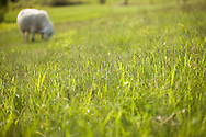 detail of spring meadow with a sheepgrazing in the background