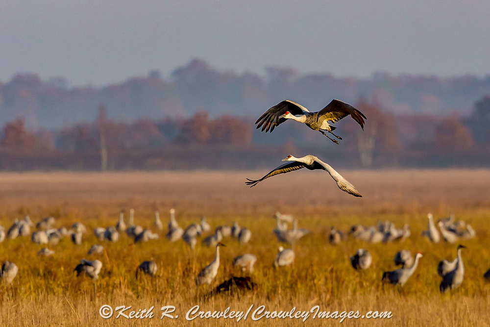 Sandhill Cranes (Grus canadensis) in flight over a shallow marsh.