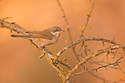 Male lesser whitethroat (Sylvia curruca) is a common and widespread typical warbler which breeds in temperate Europe and central Asia. This small passerine bird is strongly migratory, wintering in Africa just south of the Sahara, Arabia and India. Photographed in Israel In November