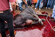 People stand in close to watch the slaughter of a bull in Paracho, Michoacan state, Mexico on August 8, 2008 during the annual Feria Internacional de la Guitarra. The bull was slaughtered and used to stock the town's meat locker while butchers served beef stew to the public to conclude the parade held by the town's market vendors.