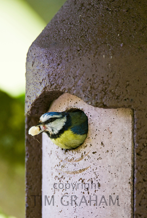 Bluetit bird removes faecal sack from garden bird box, The Cotswolds, Oxfordshire, England, United Kingdom