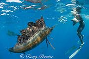 Mark Strickland photographs Atlantic sailfish, Istiophorus albicans, attacking bait ball of Spanish sardines (aka gilt sardine, pilchard, or round sardinella ), Sardinella aurita, off Yucatan Peninsula, Mexico ( Caribbean Sea ) MR 405