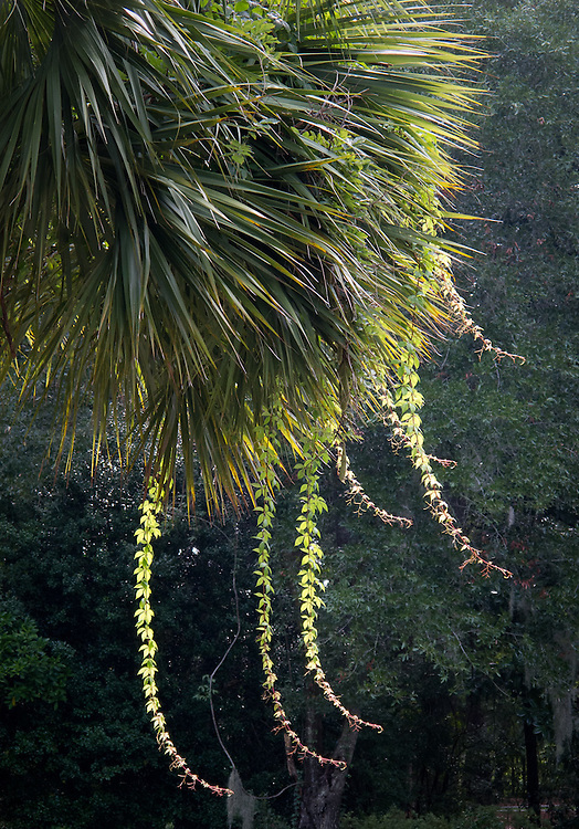 Virginia creeper vines catch sunlight as they dangle from a palmetto tree along the driveway at 33 Pine View Drive.