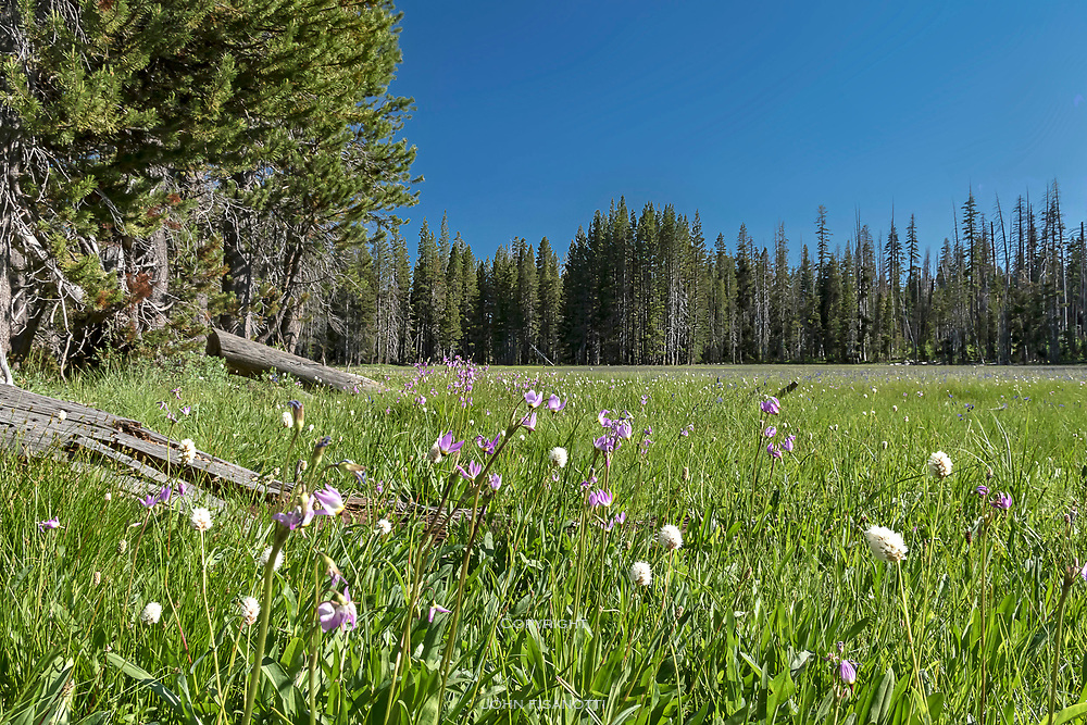 Early summer wildflowers at Harden Meadow, Yosemite National Park