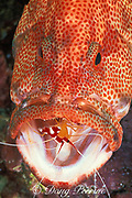 tomato grouper, tomato hind, or tomato cod, Cephalopholis sonnerati, being cleaned by humpback cleaner shrimp; Lysmata amboinensis, Mabul Island, Sabah, Borneo, Malaysia, Celebes Sea