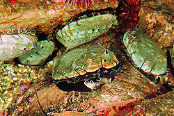 red abalone (c), Haliotis rufescens, .the largest abalone species in the world, .grows up to 12 in. in shell diameter..California (E. Pacific).