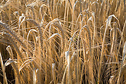 Barley stalks and heads close up