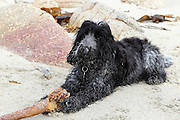 Henry, our blue roan cocker spaniel, aged 5 months, on holiday in Cornwall