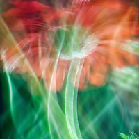 Macro lens painting of a gerber daisy.