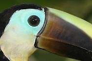 Head portrait of chestnut-mandibled toucan (Ramphastos ambiguus ambiguus); Las Horquetas, Costa Rica.