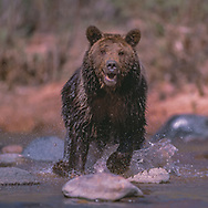 Grizzly bear charging playfully in stream, [captive, controlled conditions] © David A. Ponton