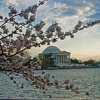 A blooming cherry tree branch frames the Jefferson Memorial and Tidal Basin in Washington, D.C.