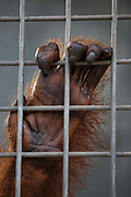 An orang-utan clings to the bars of its cage in Nyaru Menteng Rehabilitation Centre, run by the Borneo Orangutan Survival Foundation, in Central Kalimantan, Borneo, Indonesia on 22nd May 2017. The centre houses around 450 rescued orangutans who have been displaced from their habitats by human activity. After extensive rehabilitation and preparation, many of them will be reintroduced into the wild, but some animals have illnesses or injuries that means they have to remain in the sanctuary indefinitely.