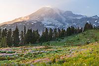 Mount Rainier Paradise wildflower meadows. Containing a mixture of Western Anemone, Broadleaf Lupines, Pink Mountain Heather, and American Bistort. Mount  Rainier National Park, Washington