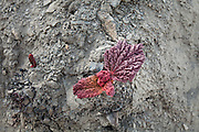 Rhubarb, Vegetation on rocky ground. Trekking up and along the Wakhan river, the only way to reach the high altitude Little Pamir plateau, home of the Afghan Kyrgyz community.