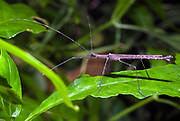Unknown species of walking stick from La Selva, Ecuador.