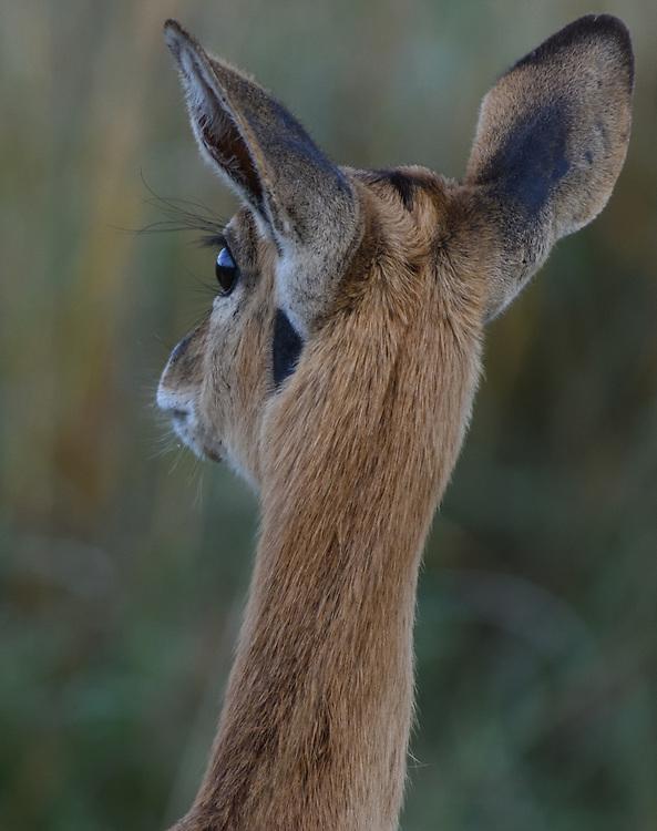 Head of a  female oribi (Ourebia ourebi) showing its huge ears and eyes.  Serengeti National Park, Tanzania.