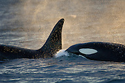 Orca or Killerwhale (Orcinus orca) feeding on herring in the Tysfjord area (Norway). Male Orcas grow up to 7 m, while females are aout 5 m in length.   Schwertwale, Orcas (Orcinus orca) ziehen in den Wintermonaten in die Fjorde, um dort die überwinternden Heringe zu jagen. Tysfjord, Norwegen.
