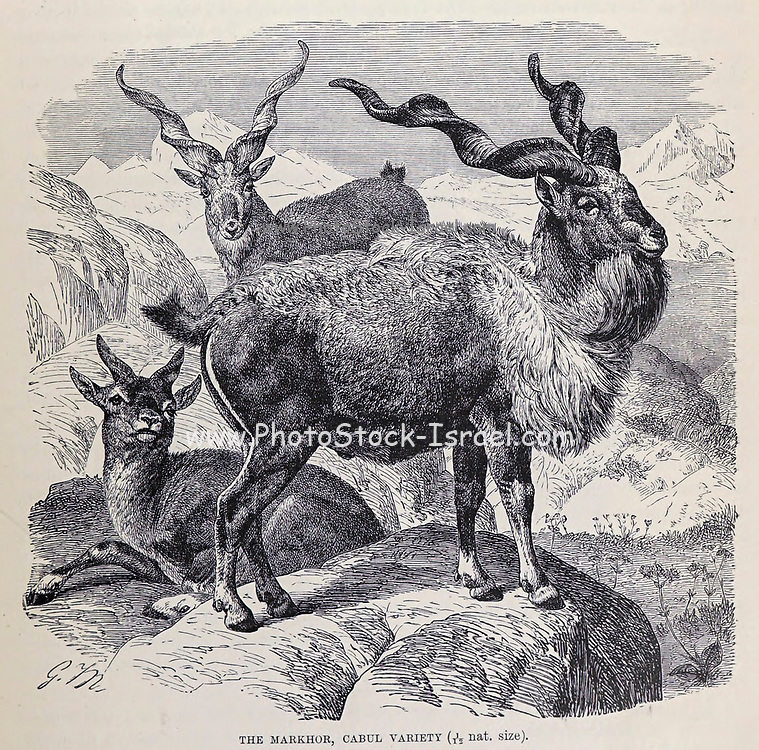 """The markhor, Cabul Variety. The markhor (Capra falconeri), is a large Capra species native to Central Asia, Karakoram and the Himalayas. The markhor is the national animal of Pakistan, where it is also known as the screw horn or """"screw-horned goat"""",From the book ' Royal Natural History ' Volume 2 Edited by Richard Lydekker, Published in London by Frederick Warne & Co in 1893-1894"""