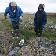 Denver Holt has placed the Snowy Owl chicks in a crevice, keeping them out of the wind. Barrow, Alaska