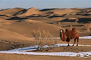 Bactrian Camel (Camelus bactrianus) in winter, Gobi Desert, Mongolia