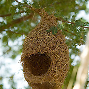 A black-breasted weaver (Ploceus benghalensis) nest in the fields of Nimaj.
