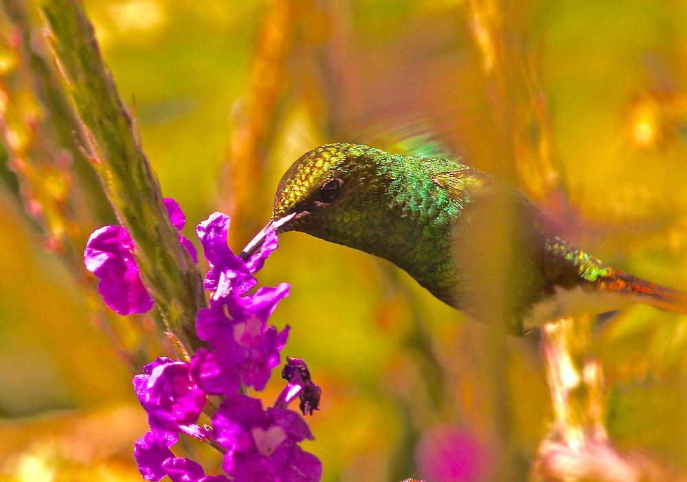 Stripe-tailed Hummingbird, eupherusa eximia, Salvia family flower, Cloud forest, Monteverde, Costa Rica