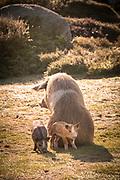 Portrait of boar siting next to its mother (Sus scrofa) family, Plateau de Coscione, Corsica, France
