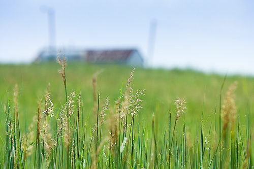 """Grass stems with building in background...The Tallgrass Prairie Preserve is the largest protected tallgrass prairie left on earth. Originally spanning portions of 14 states from Texas to Minnesota, urban sprawl and conversion to cropland have left less than 10% of this magnificent American landscape. ..Since 1989, the Nature Conservancy [http://www.nature.org]  has proven successful at restoring this fully-functioning portion of the tallgrass  prairie ecosystem with the use of about 2500 free-roaming bison and a """"patch-burn"""" model approach to prescribed burning...Tallgrass Prairie Preserve -- Pawhuska,  Oklahoma, August 2008"""