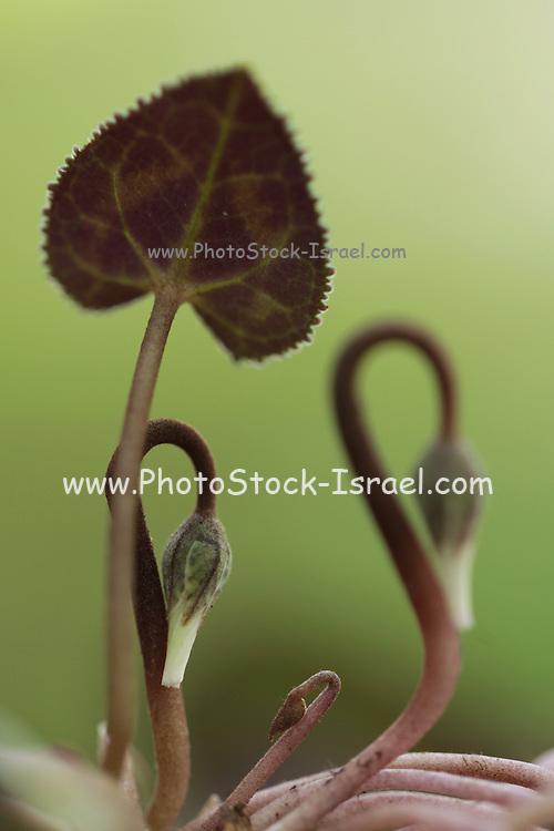 Cyclamen persicum (Persian Violet) bud , Israel Winter January