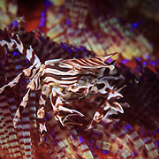 Zebra crab (Zebrida adamsii) on venomous fire urchin (Asthenosoma varium) in Ambon, Indonesia