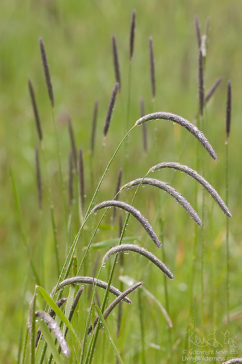 Heavy rain drops cause the seeding stalks of the blue wildrye (Elymus glaucus) grasses to bend on Bainbridge Island, Washington. Blue wildrye is a grass that is common in praries and open woods in southern Canada and the northwestern United States.