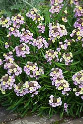 Erysimum 'Plant World Lemon' - Wallflower