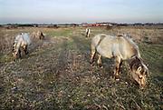 Nederland, Ooij, 17-2-2019Een groep Konikpaarden graast in de Ooijpolder, Millingerwaard. De Konik leeft in kuddeverband. De wilde paarden zijn uitgezet in natuurgebieden door heel Nederland. op de achtergrond vaart een binnenvaartschip met containers voorbij .Foto: Flip Franssen