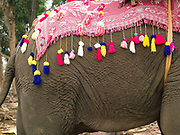 A domesticated Asian elephant decorated ready for the procession at the annual Sayaboury elephant festival, Sayaboury province, Lao PDR. Originally created by ElefantAsia in 2007, the 3-day elephant festival takes place in February in the province of Sayaboury with over 80,000 local and international people coming together to experience the grand procession of decorated elephants. It is now organised by the provincial government of Sayaboury.The Elephant Festival is designed to draw the public's attention to the condition of the endangered elephant, whilst acknowledging and celebrating the ancestral tradition of elephant domestication and the way of life chosen by the mahout. Laos was once known as the land of a million elephants but now there are fewer than 900 living in the country. Around 470 of them are in captivity, traditionally employed by a lucrative logging industry. Elephants are trained and worked by a mahout (handler) whose relationship to the animal is often described as a marriage and can last a lifetime. But captive elephants are often overworked and exhausted and as a consequence no longer breed. With only two elephants born for every ten that die, the Asian elephant, the sacred national emblem of Laos, is under serious threat of extinction.