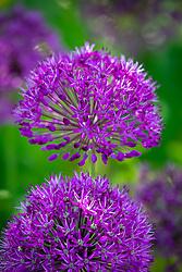 Allium hollandicum 'Purple Sensation' AGM