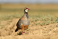 Red-legged Partridge - Alectoris rufa