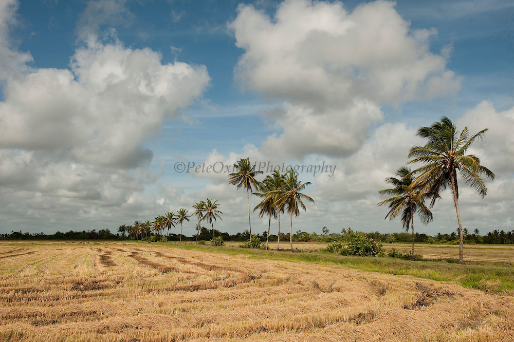 Rice cultivation near Georgetown<br /> GUYANA<br /> South America