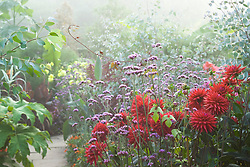 Foggy morning in the exotic garden at Great Dixter. Dahlia 'Wittemans Superba' and Verbena bonariensis in the foreground