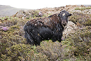 A yak grazes during a hail storm near the  Sichen Holy Lake near Ruthok, Tibet. 4,900 meters altitude, in Maldro Gunkar County. Yaks are found throughout the Himalayan region of south Central Asia, the Tibetan Plateau and as far north as Mongolia and Russia.