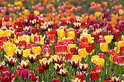 A Spring explosion of Tulips in Chicago's Grant Park
