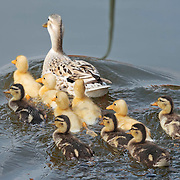 Nederland Berkel en Rodenrijs 15 april 2011 20110415 Voorjaar, piepjonge gele en geel - bruine kuikentjes zwemmen in sloot met moeder eend. Foto: David Rozing
