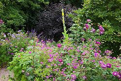 Geranium psilostemon with Rosa 'William Lobb', verbascum and geraniums at Glebe Cottage