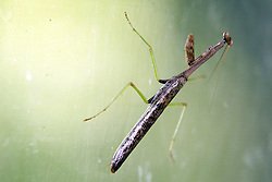 05 September 2010:  Carolina Mantid or commonly know as a Praying Mantis.  Species name is stagmomantis carolina.